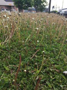 Dandelions in turf