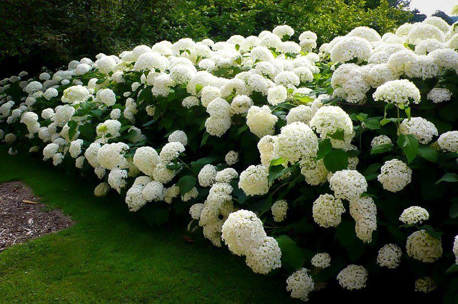Hydrangea, Annabelle, perennials