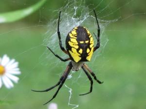 Yellow Garden Spider, argiope aurantia, garden,